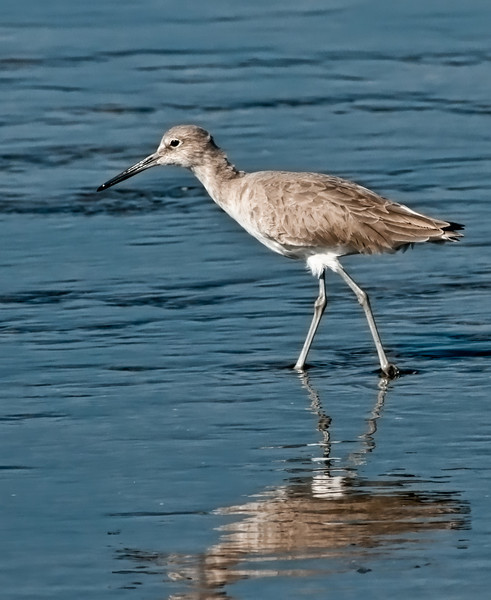 Black Point Wildlife Drive - Willet