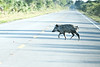 Rt 406 - One of about 10 Wild Hogs crossing the Road