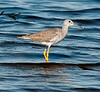 Black Point Wildlife Drive - Greater Yellowlegs