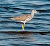 Black Point Wildlife Drive - Greater Yellowlegs