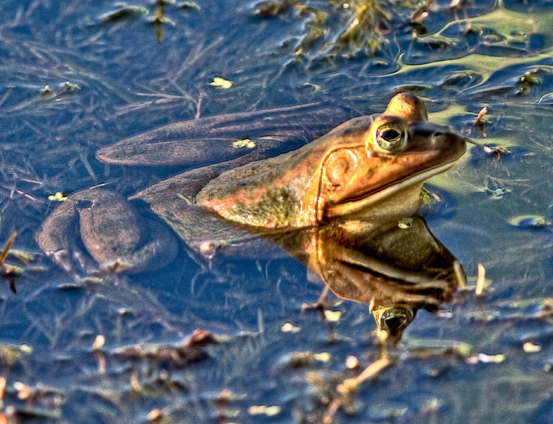 This is a photo of a  Bull Frog that I enhanced using HDR and PhotoShop CS4.