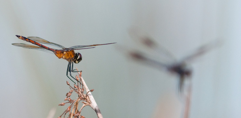 Four-spotted Pennant Dragonfly before enhancements