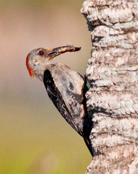A Red-bellied Woodpecker coming back to the nest with some food for the young ones.