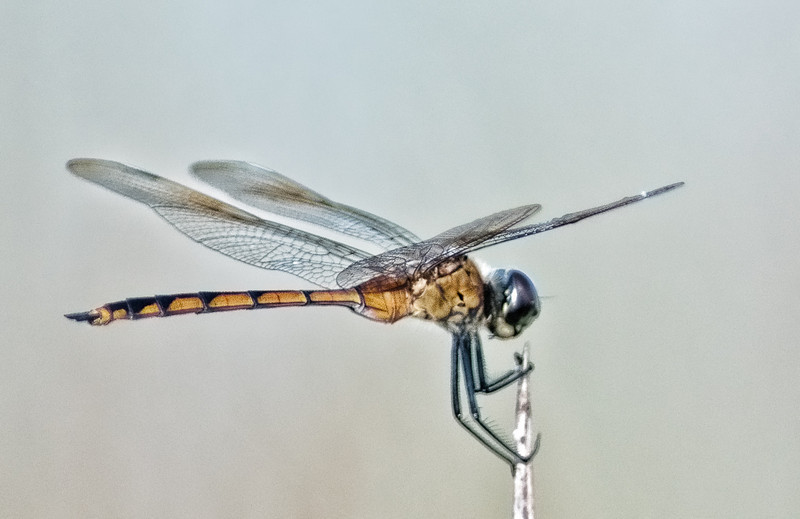 Four-spotted Pennant Dragonfly - Just hanging out