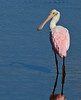 This photo the Roseate Spoonbill was taken at the Merritt Island Wildlife Refuge