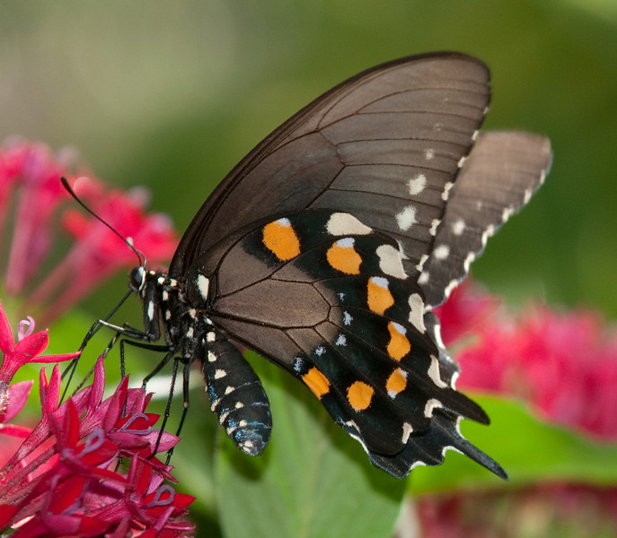Female Pipevine Swallowtail Butterfly