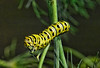 Caterpillar - Monarch Larva
