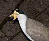 Yellow Lapwing or Masked Plover