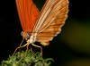 Orange Julia Butterfly - Butterfly proboscises are slender, tubular feeding structures. Culminating in a sharp, beak-like tip, the proboscis works like a straw through which a butterfly drinks its food. When a butterfly finds food, it first unfurls its mouth parts and then zips them together to form a channel. The proboscis is particularly well adapted for reaching into flowers for nectar and for piercing fruit with its sharp tip. When a butterfly is not feeding, it keeps its proboscis curled between its palpi (which are a pair of organs located on the front of an adult butterfly face).