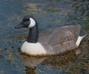 This is really a decoy Canada Goose.  I thought it was real when I first saw it.