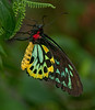 Male Caims Birdwing Butterfly - This butterfly is from Australia