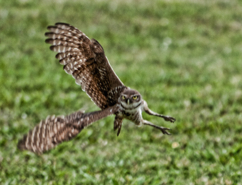 This was the first time I was able to capture a Burrowing Owl in flight