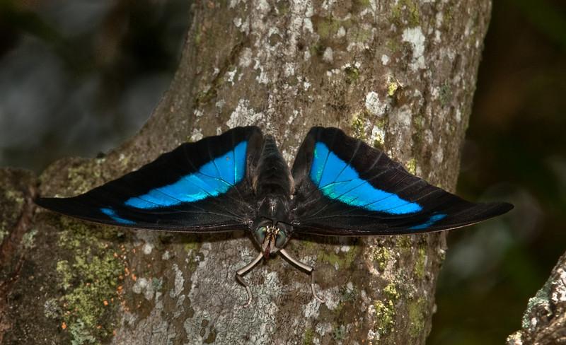 Blended King Shoemaker Butterfly - Archaeoprepona Demophon