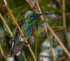 Sparkling violet ear hummingbird