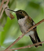 Streamertail hummingbird