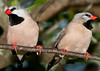 A pair of Stafftail Finch