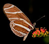 Heliconius Charitonius Butterfly