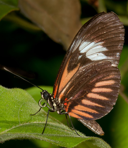 Heliconius pianokey Butterfly