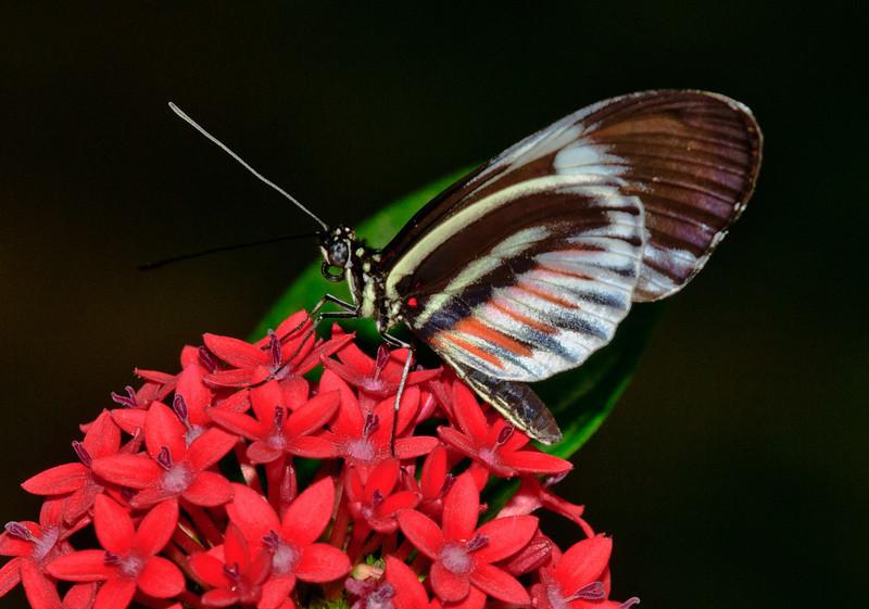 Heliconius Pianokey Butterfly