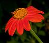 Orange Sun Flower