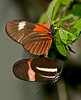 2 Heliconius Melpomones Butterflies - I think we have some matting action going on here