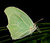 Anteos Chlorinde Butterfly