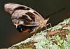 Catenephole Orites Butterfly