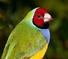 Male Gouldian Finch