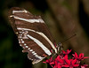 Butterfly World - Zebra Longwing (eliconius charitonius)