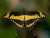 Butterfly World - Papilio Thoas
