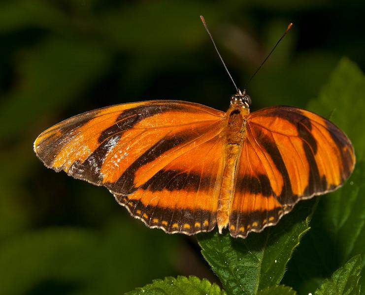 Butterfly World - Dryadula Phaetusa