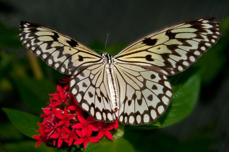 Butterfly World - Idea Leuconoe