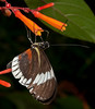 Butterfly World - Cydno Longwing Butterfly (Heliconius cydno)