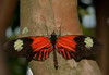 Butterfly World - Heliconius Melpomene Cythera