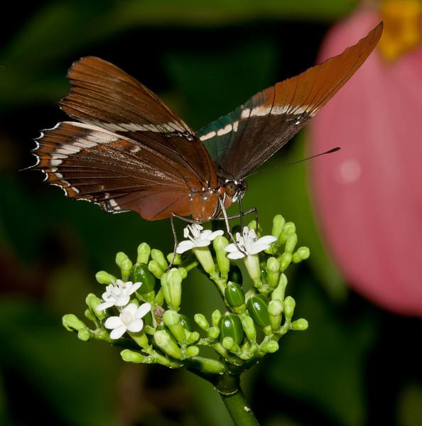 Butterfly World - Siproeta epaphus