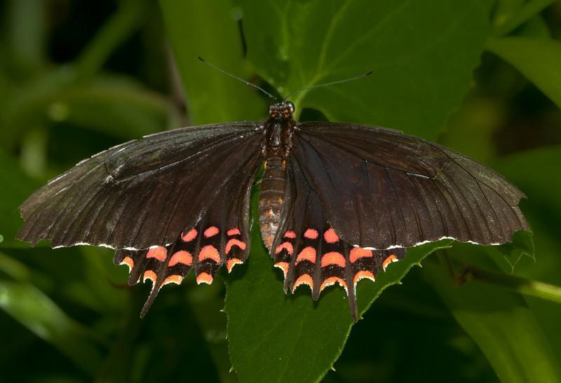 Butterfly World - Papilio Erostratus