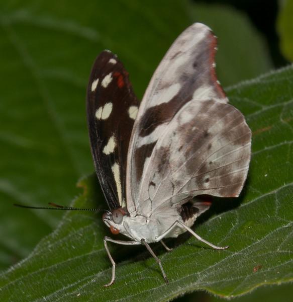 Butterfly World - Female Orange-banded Shoemaker Butterfly (catonephele orites)