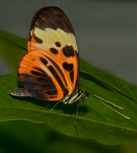 Butterfly World -  heliconius ismenius