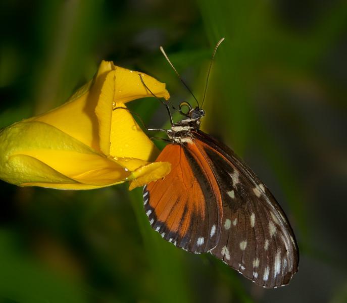 Butterfly World - Danaus Chrysippus