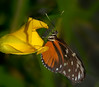 Butterfly World - Danaus Chrysippus