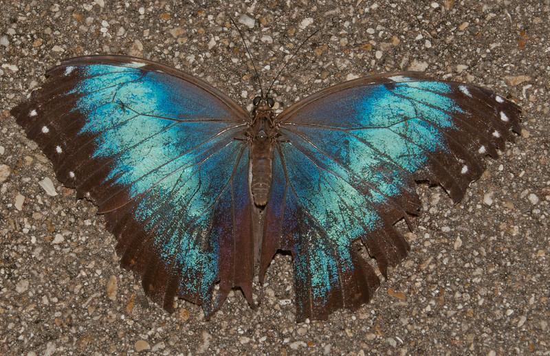 Butterfly World - Blue Morpho