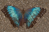 Butterfly World - Blue Morpho