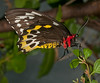 Butterfly World - Female Cairns Birdwing (ornithoptera priamus)
