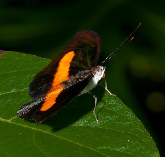 Butterfly World - Male Catonephele Orites