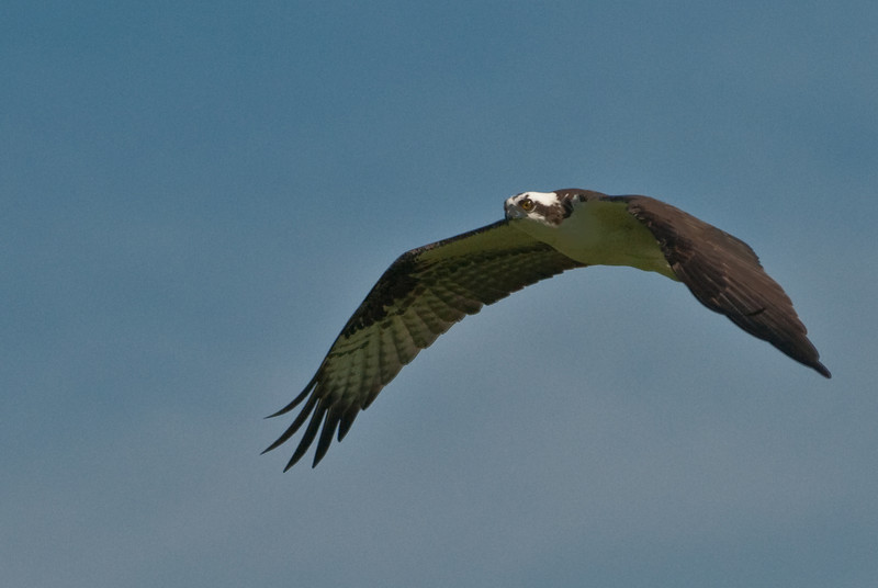 Various images of an Osprey in flight