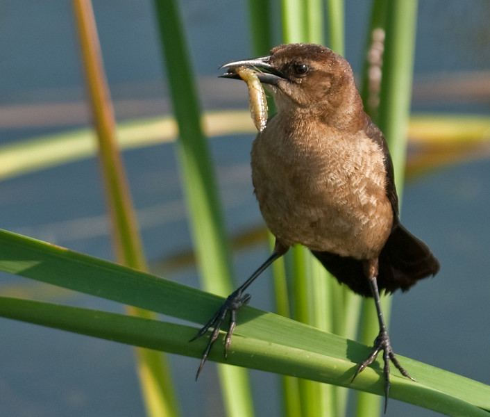 Female Boat-tailed Grackle eating her catch