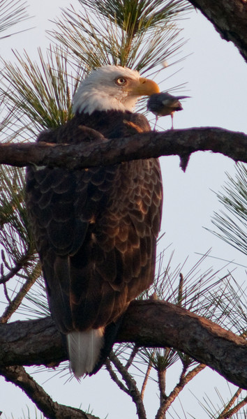 A small bird that just flew onto  a branch next to the Bald Eagle for a visit