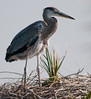 Juvenile Great Blue Heron still on the nest