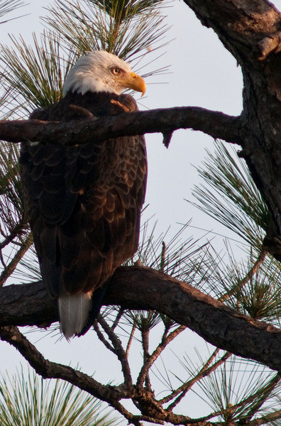 One of the parent Bald Eagles near the nest in Palm Bay
