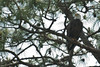 Bald Eagle on south trail from Moccasin Island Tract parking lot
